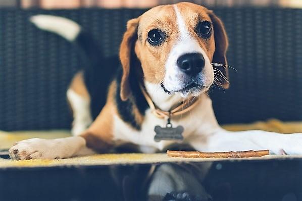 beagle puppy lying on the floor